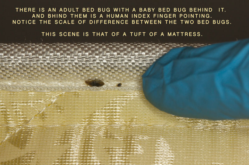 Baby and Adult Bed Bugs in a mattress tuft