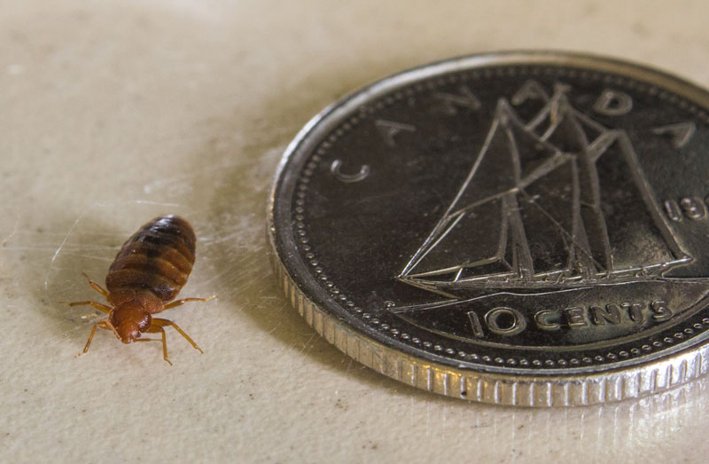 Bed Bug Size and Dimensions